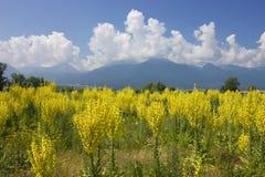 Mullein的黄色域与Pirin山的 免版税图库摄影