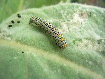 mullein сумеречницы гусеницы Стоковые Фотографии RF