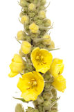 Mullein. Top mullein with yellow flowers on white background Royalty Free Stock Photo