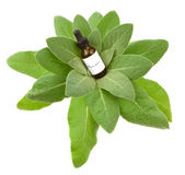 Mullein herbal tincture or oil. Mullein herbal tincture, extraction or oil with a Mullein plant Royalty Free Stock Photo