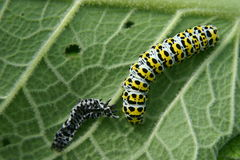 Mullein moth caterpillar. On a green leave stock photography