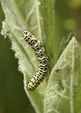 Mullein Moth Caterpillar Royalty Free Stock Photos