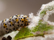 Mullein moth caterpillar, Stock Photos