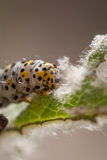 Mullein moth caterpillar, Royalty Free Stock Photography