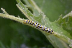 Mullein moth caterpillar on leaf Stock Photography