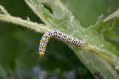 Mullein moth caterpillar on leaf Royalty Free Stock Photos