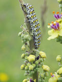Mullein Moth Caterpiller Royalty Free Stock Photos