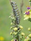 Mullein Moth Caterpiller. Cucullia verbasci Larvae on Dark Mullein royalty free stock photos