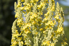 Mullein plant Royalty Free Stock Photography