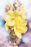 Mullein tinted Royalty Free Stock Photography