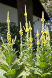Mullein - Yellow Verbascum. Yellow verbascum plants growing in a garden royalty free stock photography