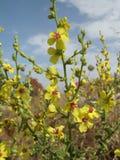 Mulleinbloemen Stock Foto's