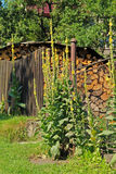 Mulleins. Some mulleins with yellow blooms growing next to the fence of the garden in the village Stock Photography