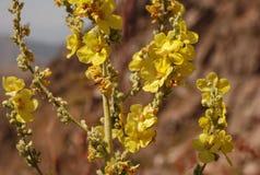 Mullen mullein - berget blommar Uzbekistan Arkivbild