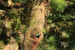 Muller Barbet, een kleurrijke vogel Stock Foto