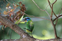 Muller Barbet, een kleurrijke vogel Stock Fotografie