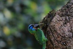 Muller Barbet, een kleurrijke vogel Royalty-vrije Stock Foto