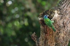 Muller Barbet, een kleurrijke vogel Stock Afbeelding