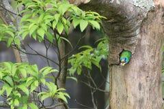 Muller Barbet, een kleurrijke vogel Stock Afbeeldingen