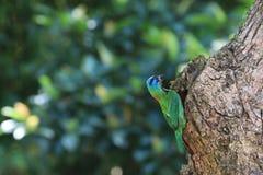 Muller Barbet, een kleurrijke vogel Royalty-vrije Stock Afbeelding