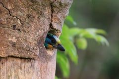 Muller Barbet, een kleurrijke vogel Stock Foto's
