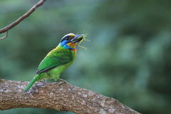 Muller Barbet, een kleurrijke vogel Royalty-vrije Stock Foto's