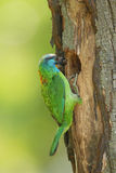 Muller's barbet Royalty Free Stock Images
