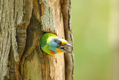 Muller's barbet Royalty Free Stock Photos