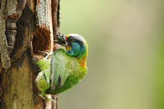 Muller's barbet Stock Images