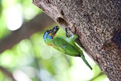 Muller's Barbet Royalty Free Stock Photo