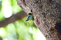 Muller's Barbet Royalty Free Stock Image