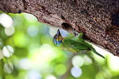 Muller's Barbet Stock Photography