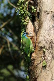 Muller s Barbet - Megalaima oorti Royalty Free Stock Photo