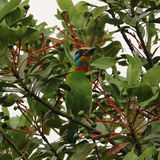 Muller s Barbet perch on the tree branch Royalty Free Stock Image