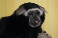 Muller's Bornean gibbon Royalty Free Stock Photography