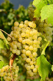 Muller Thurgau Bunch Stock Photos