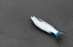 Mullet fish on the beach stock images