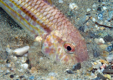 Mullet fish. Eats small organisms that live in the sand Stock Photos