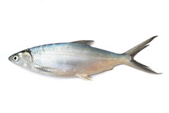 Mullet fish. Raw mullet fish on white background Royalty Free Stock Photos