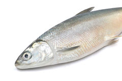 Mullet fish. On white background Stock Image