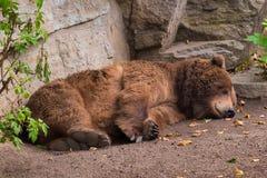 Mullido cansado de la piel marrón del oso grizzly el dormir foto de archivo