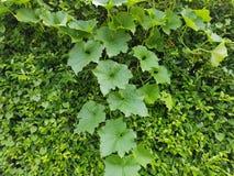 Mullion vine Stock Image