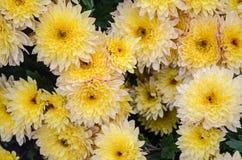 Mulltilobe在公园染黄开花在秋天的菊花 免版税图库摄影