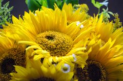 Mulltilobe gulnar solrosen med den lilla vita tusenskönan i en bukett arkivfoton