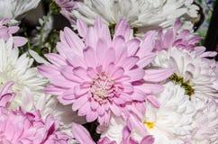 Mulltilobe pink and white chrysanthemums blooming closeup. stock photo