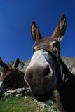 Mulo!! Immagini Stock