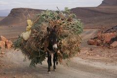 Mulo in atlante Fotografia Stock Libera da Diritti