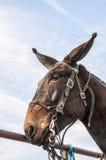 Mulo del Missouri, freno, equestraine Fotografie Stock