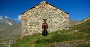 Mulo sulla montagna Immagine Stock