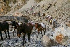 Mulor och åsnor som bär påfyllningen arkivfoton